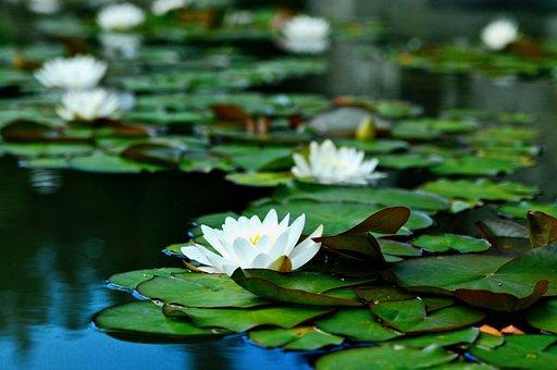 Water Lilies, Bokeh, Flowers, Pond