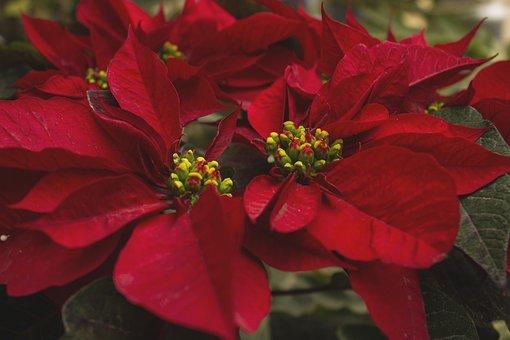 Flower Of Christmas, Flowers, Petals