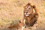Lion, From PixabayPhotos