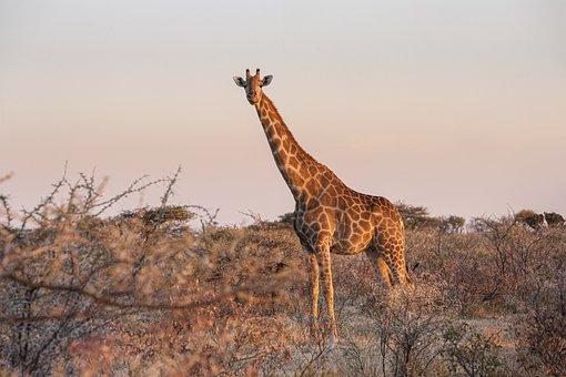 Giraffe, Animal, Safari