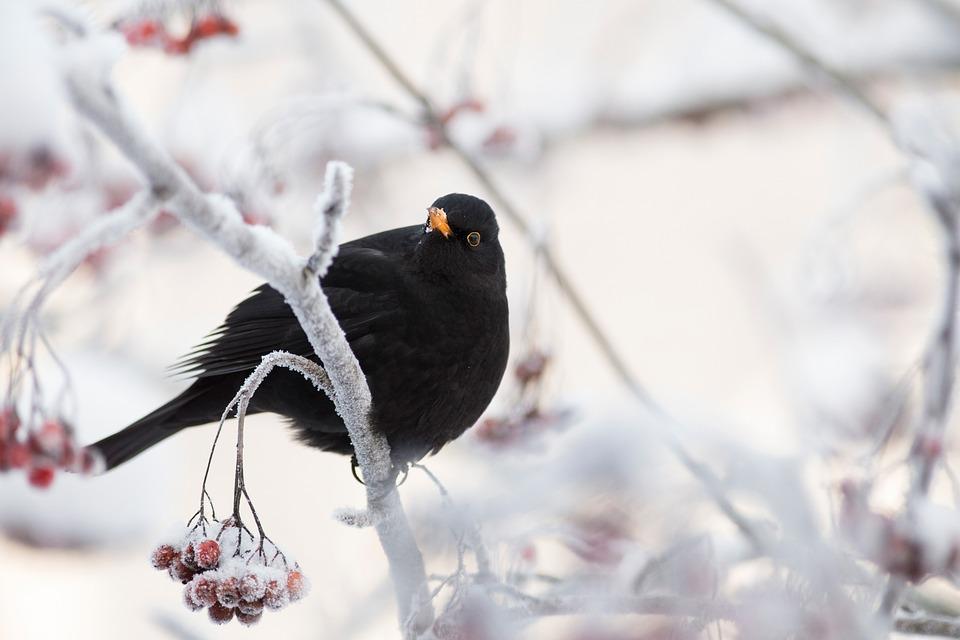 Blackbird, Bird, Perched, Perched Bird, Black Feathers