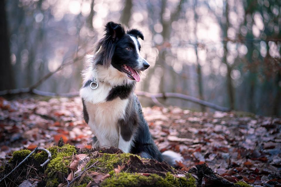 Border Collie, Collie, Perro, Raza Canina, Mascota