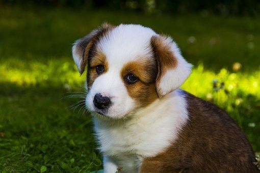 Welsh Corgi Cardigan, Dog, Puppy, Pet