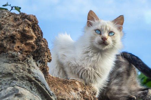 Katze, Augen, Haustier, Weiße Katze