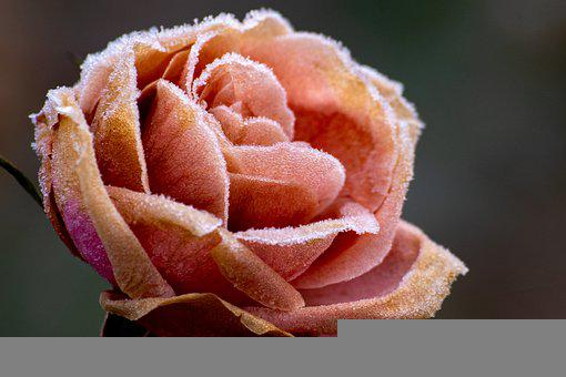 ローズ, 氷の結晶, 冷凍, 霜, バラの花びら, ブルーム, 花, 花びら