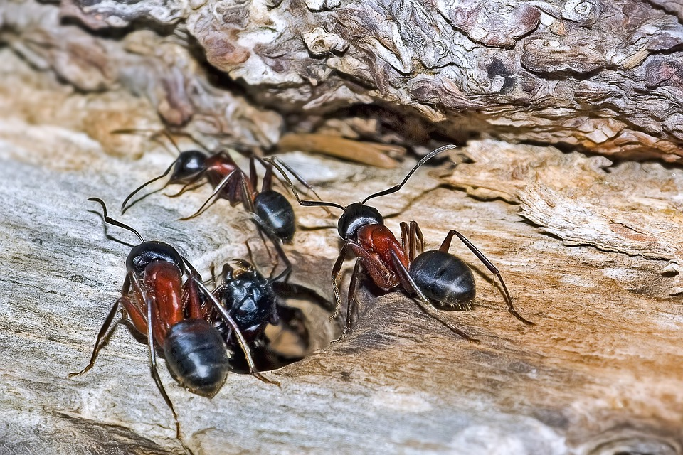 Ants, Insects, Camponotus Ligniperda