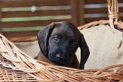 Hond, Puppy, Mand, Huisdier