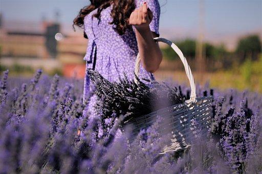 Lavender, Field, Girl, Picking, Basket
