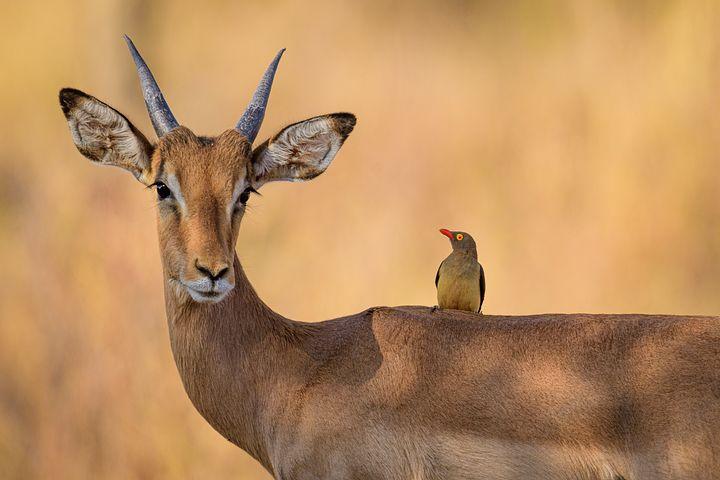 Fotos de antilopes africanos