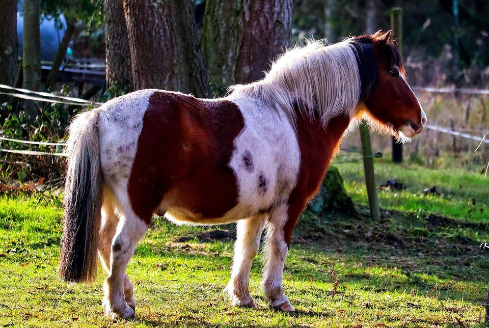 Pony, Animal, Pinto Horse, Piebald Fur, Mammal, Equine