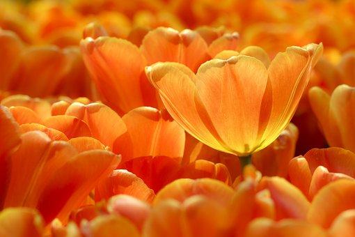 チューリップ, オレンジ, 花, 花びら, オレンジ色のチューリップ