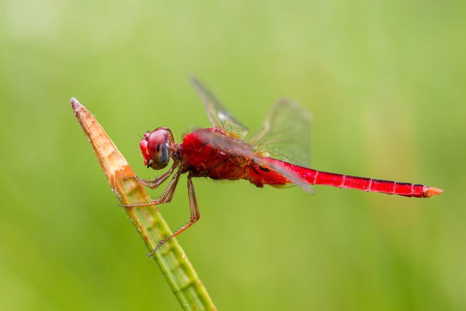 Capung Merah, Dengan Warna Merah yang Mencolok, Mereka Tampak Sangat Cantik!