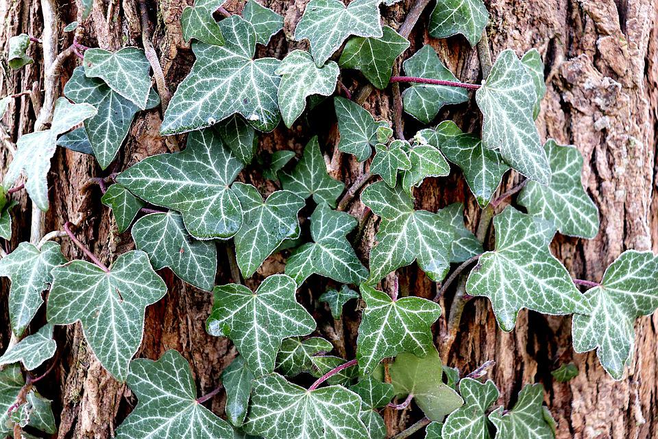 Ivy, English Ivy, Plants, Green, Foliage, Leaves, Trunk