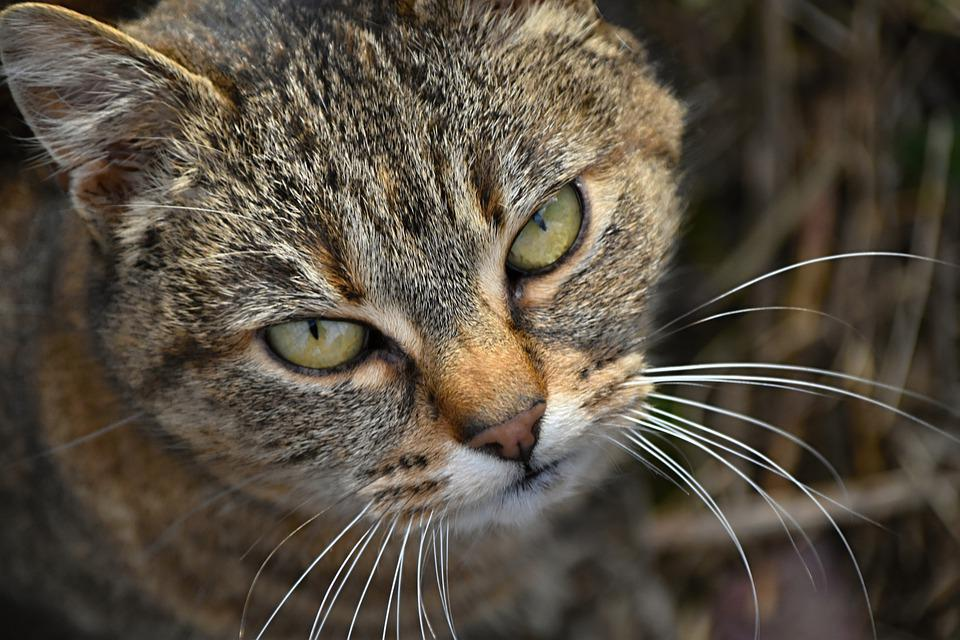 Cat, Tomcat, Tabby Katten, Grå Tabby, Sint, Sint Katt