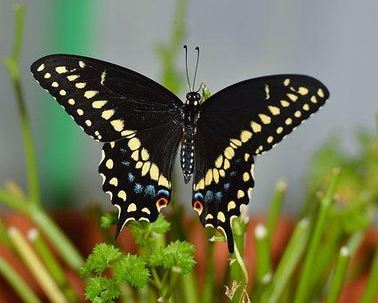 Motýl, Černá, Žlutá, Modrá