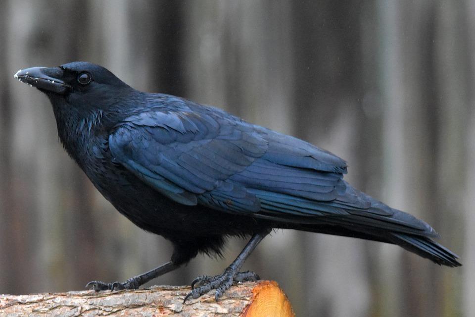 American Crow, Log, Perched, Wood, Bird, Crow, Animal