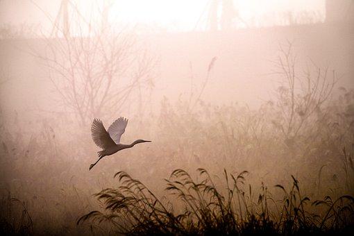 Egret, Flying, Fog, Dawn, Sunrise, Grass