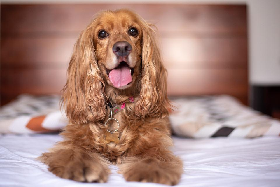 English Cocker Spaniel, Dog, Puppy, Pet, Pup, Young Dog