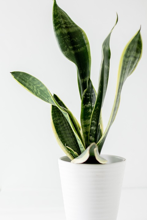 Snake Plant, Plant, Plant Pot, Decorative, Decoration
