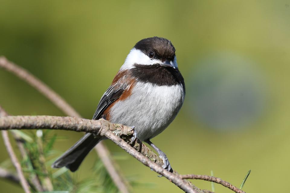 Chestnut-Backed Chickadee, Chickadee, Bird, Branches