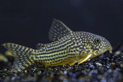 Cara Budidaya Ikan Gabus – Bibit, Pakan, Panen & Perawatannya