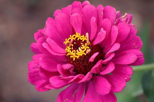 Zinnia, Květina, Rostlin, Lístků