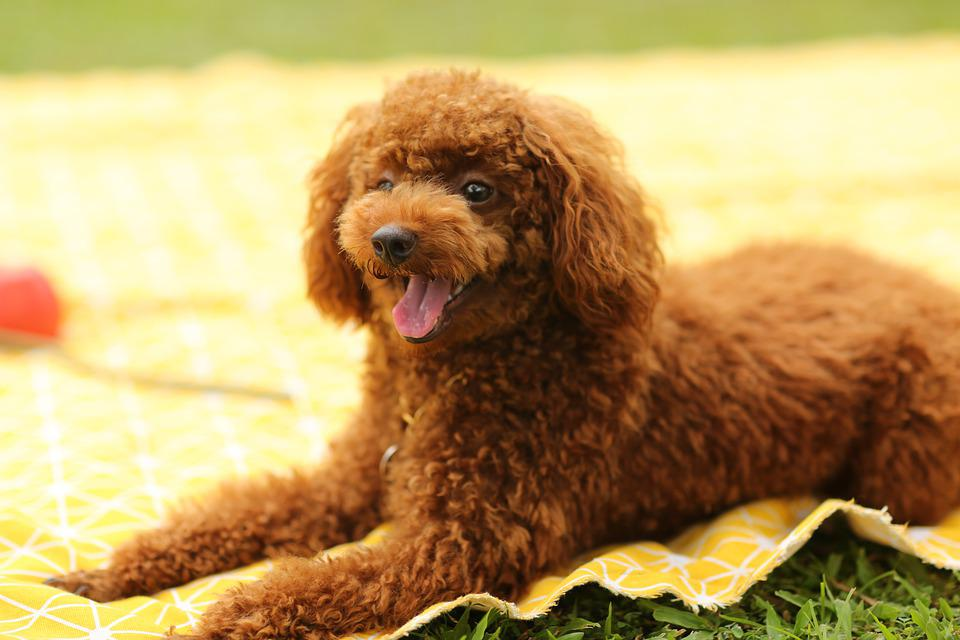Dog, Puppy, Poodle, Pet, Animal, Pup, Young Dog