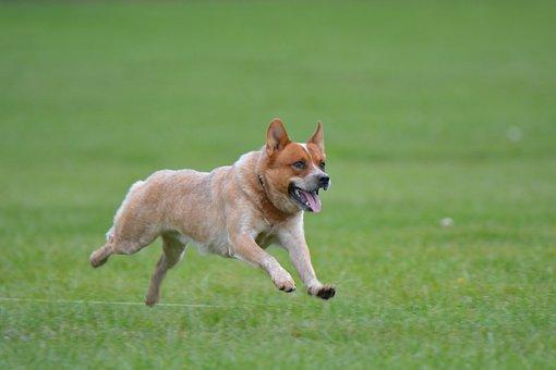 Australian, Cattle, Dog, Pet, Animal, healthiest dog breed