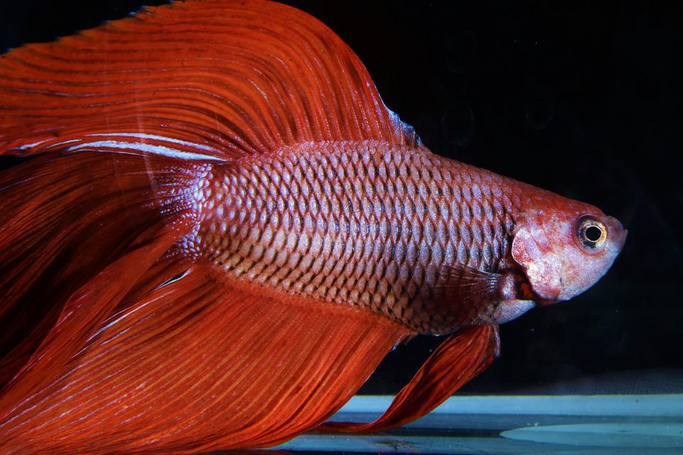 Cara Ternak Ikan Cupang Pemula