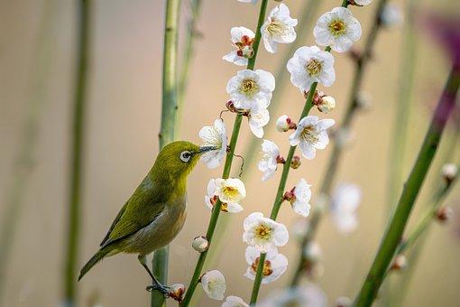 小鳥, メジロ, Zosterops Japonicus, ウメの花, 吸蜜