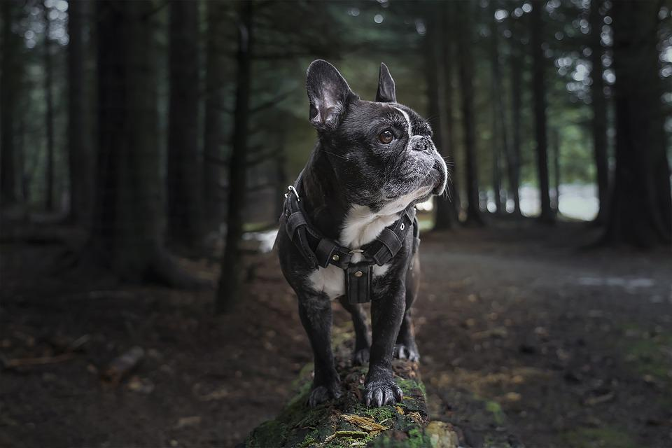 French Bulldog, Frenchie, Forest, Nature, Dog