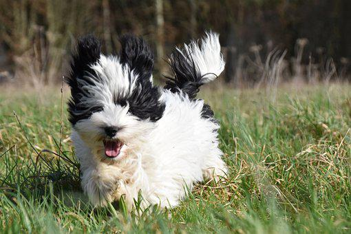 Puppy, Havanese, Run, Running, Playful