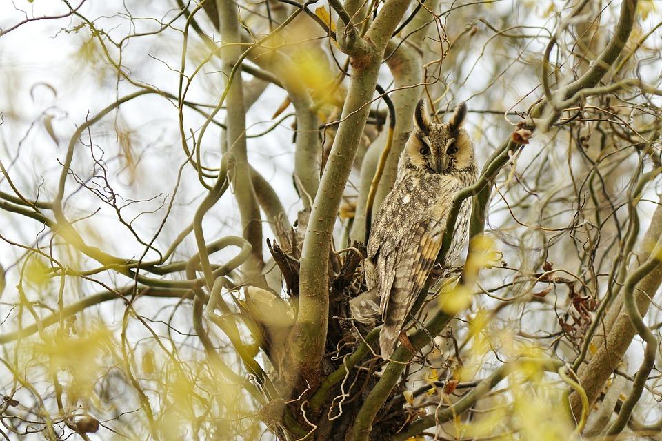 Long-Eared Owl, Bird, Tree, Perched, Asio Otus, Owl