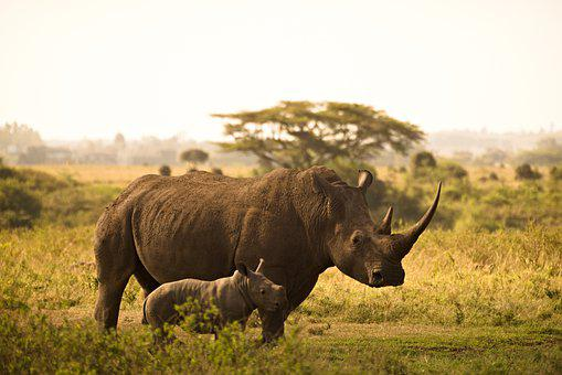 Rhino, Calf, Horns, Mother And Child
