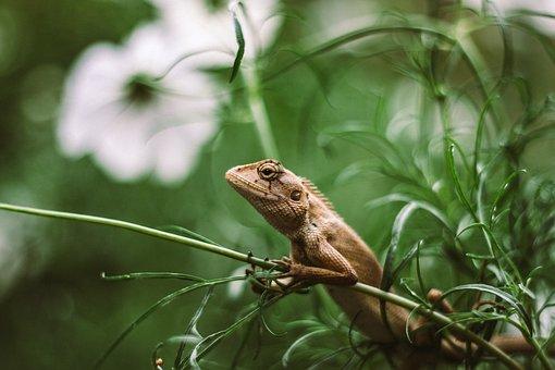 Iguana, Lizard, Reptile, Exotic