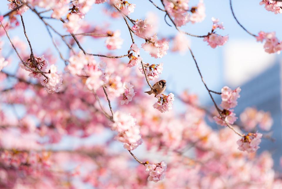 桜の花, 花, 鳥, すずめ, 座っている, 支店, ピンクの花, さくら, 春, ブルーム, 自然