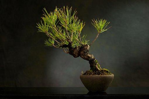 Bonsai, Plant, Pot, Tree, Leaves