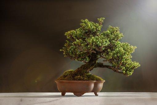 300 Free Bonsai Tree Images