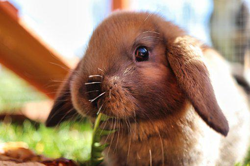 Rabbit, Animal, Pet, Bunny, Cute, Mammal