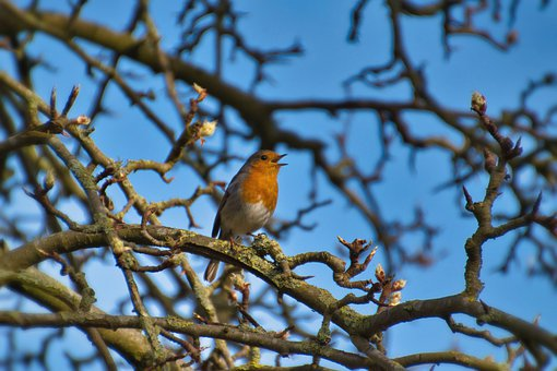 Bird, Robin, Tree, Red Breast, Songbird