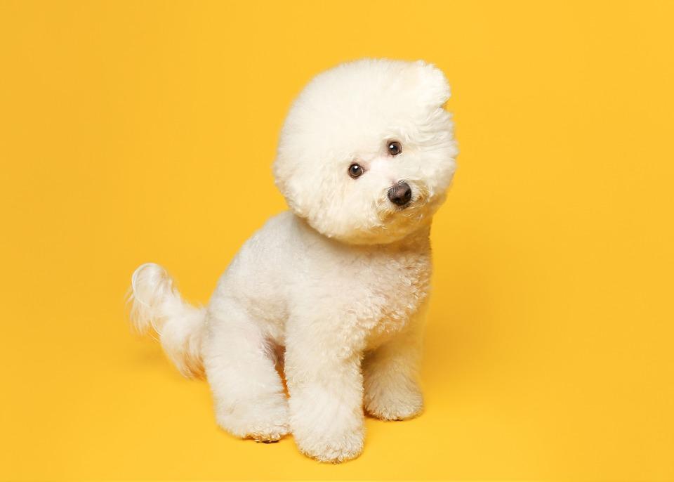 Bichon, Dog, Pet, Bichon Frise, White Dog, Animal