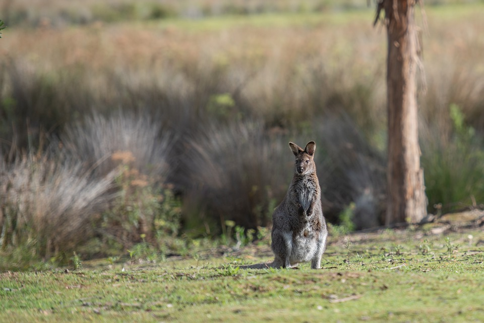 https://cdn.pixabay.com/photo/2021/04/02/04/00/wallaby-6143714_960_720.jpg