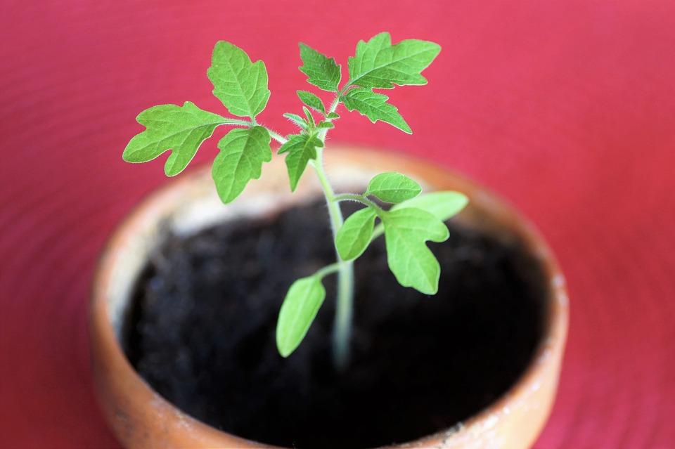 Tomate, Hojas, Planta, Planta Joven, Planta En Maceta