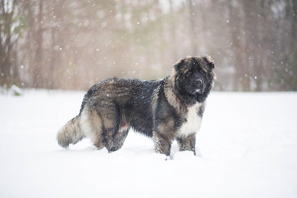 caucasian shepherd adaptability