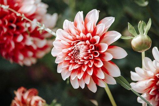 Dahlia, Flower, Plant, Petals, Bud
