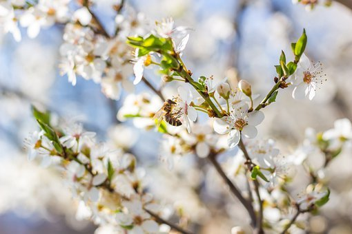 Plum Blossom, Flowers, Bee, Insect