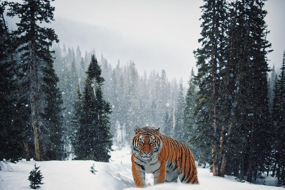 Красивые фото - Страница 2 Tiger-6175826_960_720
