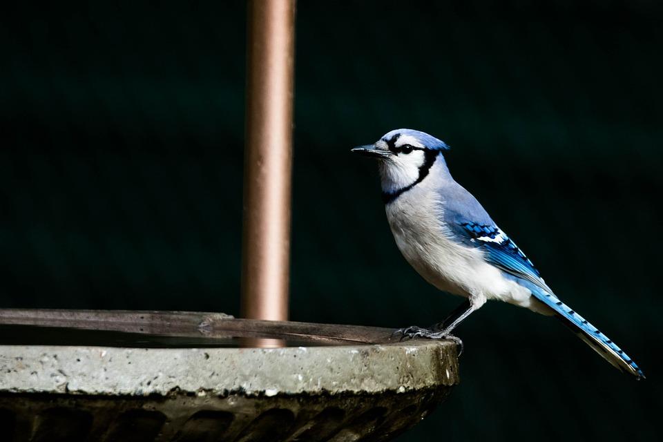 Blue Jay, Bird, Birdbath, Perched, Animal, Wildlife