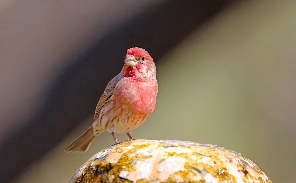 House Finch, Fountain, Bird, Perched, Perched Bird