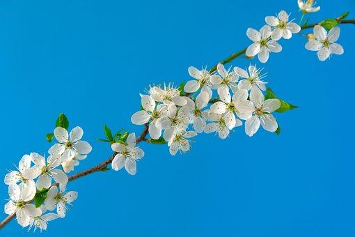Wiśniowe Kwiaty, Sakura, Kwiaty